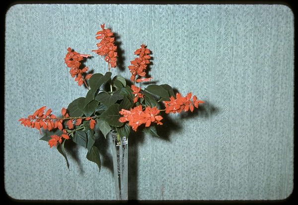 Small red-orange flowers in a glass vase in front of a sage blue background