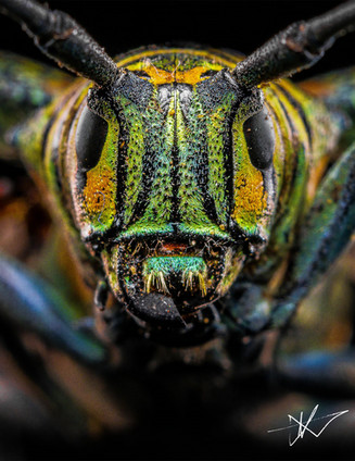 Longhorn Beetle long final.jpg