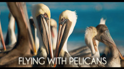 Flying with pelicans logo 3