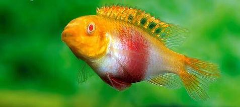 Pelvicachromis pulcher Albino 008 Q.jpg
