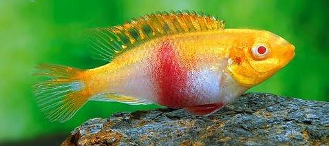 Pelvicachromis pulcher Albino 007 Q.jpg