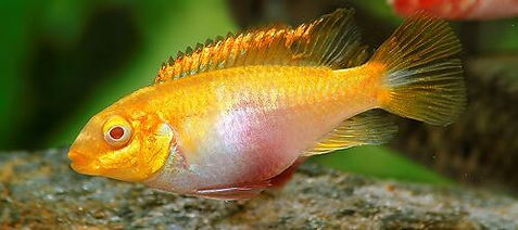 Pelvicachromis pulcher Albino 003 Q.jpg
