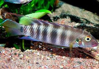 02 Pelvicachromis Pulcher Q.jpg
