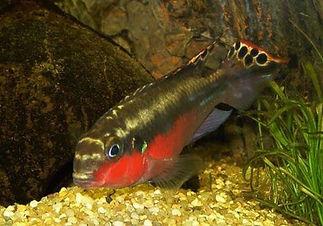 03 Pelvicachromis Pulcher Q.jpg