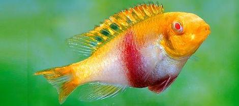 Pelvicachromis pulcher Albino 002 Q.jpg