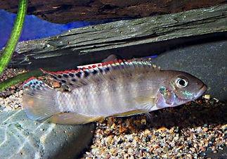 01 Pelvicachromis Pulcher Q.jpg