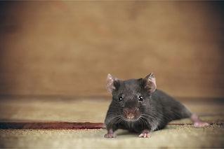 rat-crawlspace-main.jpg
