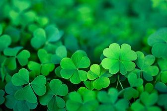 Lucky Irish Four Leaf Clover in the Fiel