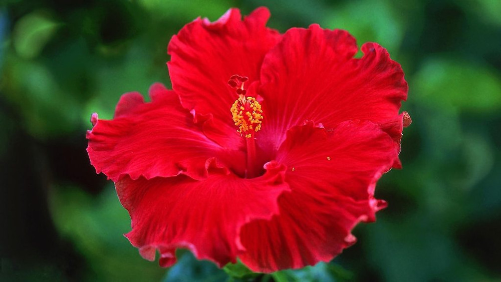 red-hibiscus-free