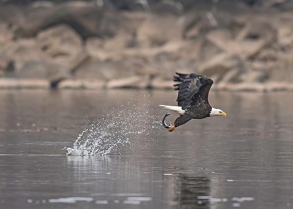 _MD_Eagle-fb.jpg