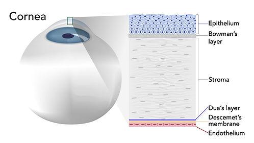 media-image-cornea.jpg