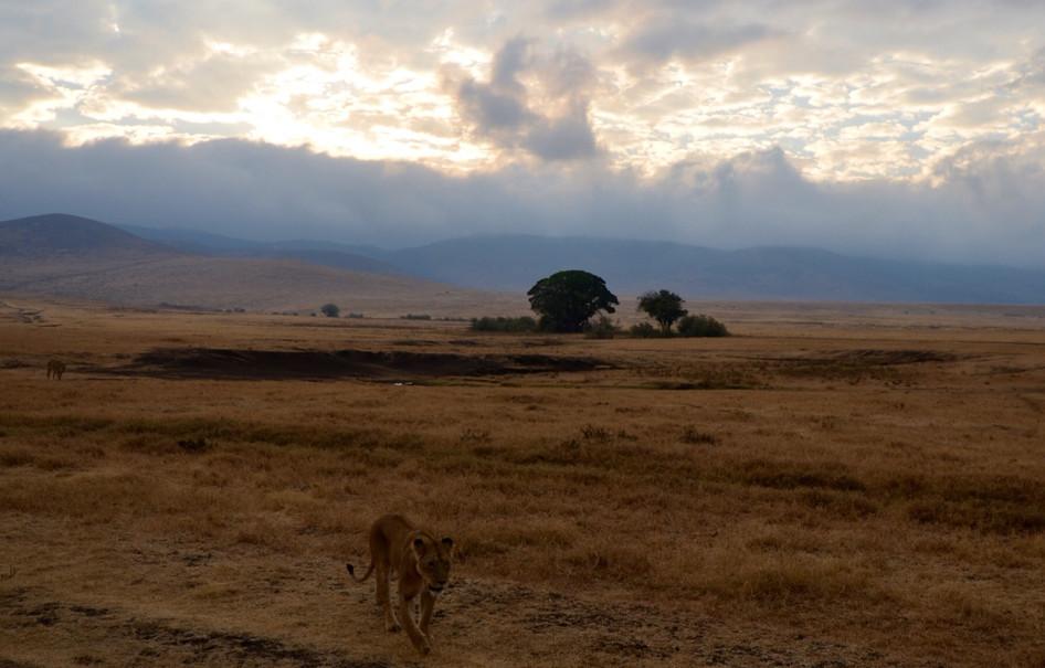 female lion in Nongoragoa Crater