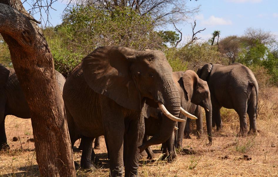 Elephants in the Seringetti