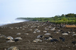 turtle reserve Ostional