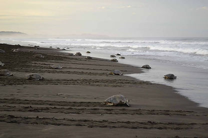 Ostional Beach Costa Rica