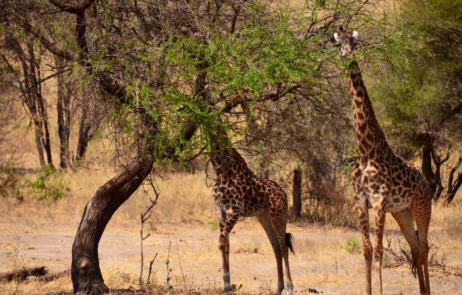 Giraffe in the Seringetti