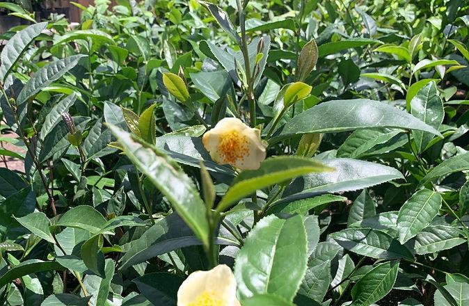 Tea leaves2.jpg