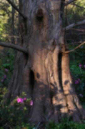 Dawn redwood, Metasequoia glyptostroboides, at Marin Art & Garden Center, Ross, California