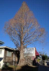 deciduous conifer, dawn redwood, cupressaceae