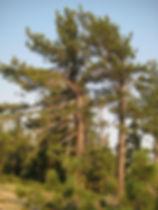 JEFFREY PINE, Pinus jeffreyi