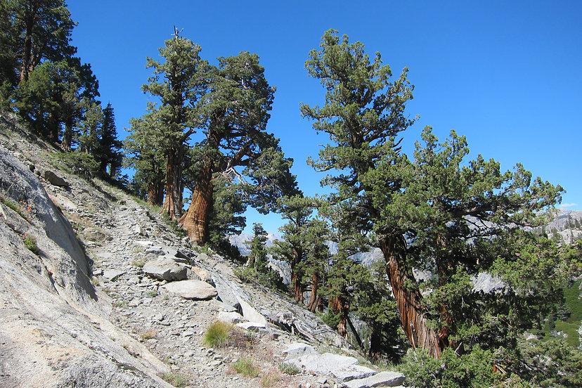 Sierra juniper, Juniperus grandis, Yosemite National Park