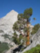 SIERRA JUNIPER, Juniperus grandis