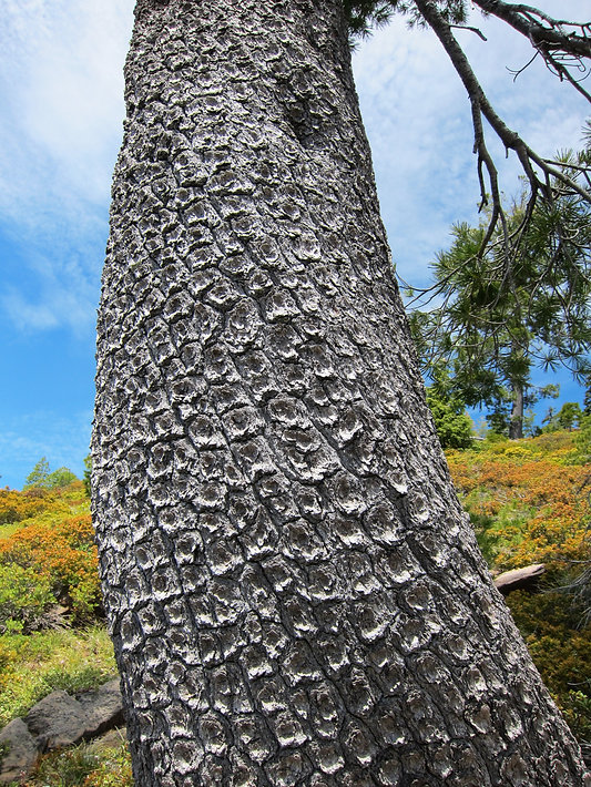 bark of western white pine in Siskiyou Mountains