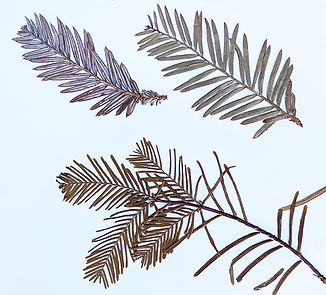 Comparison of dried specimens of coast redwood and dawn redwood