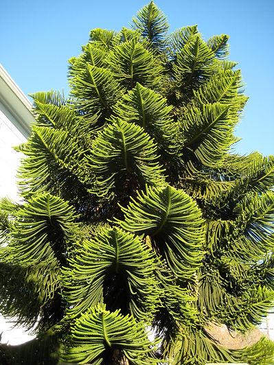 Norfolk Island pine, Araucaria heterophylla, near downtown Berkeley, California