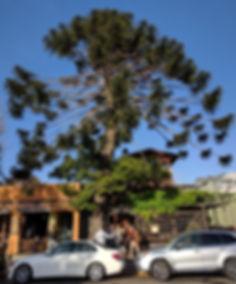 Bunya-bunya, Araucaria bidwillii, catching the last rays of sun at Chez Panisse in Berkeley, California