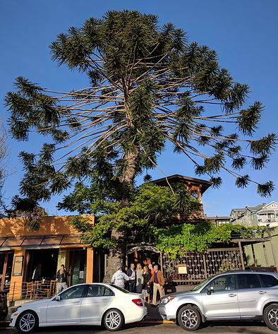Bunya-bunya, Araucaria bidwillii, catching the last rays of sun at Chez Panisse in Berkeley, California