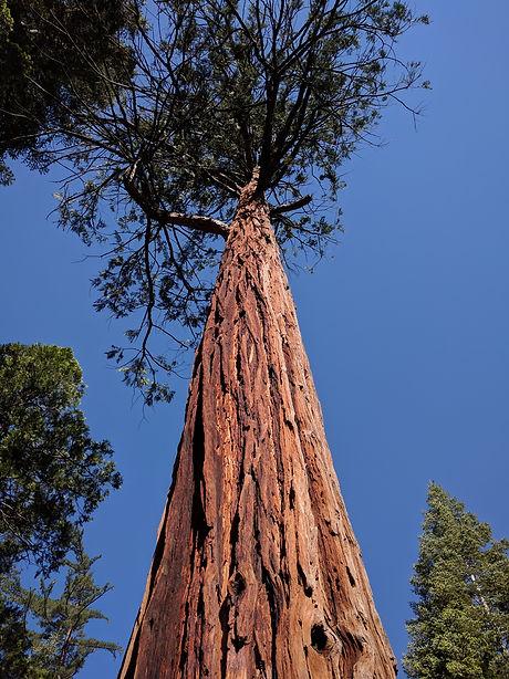 Reddish bark of incense-cedar