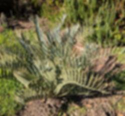 Encephalartos princeps, South Africa