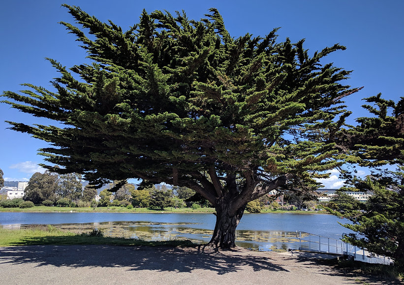 Monterey cypress, Cupressus macrocarpa, at Aquatic Park, Berkeley, California