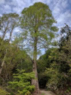Dawn redwood, Metasequoia glyptostroboides, at the University of California Botanical Garden, Berkeley