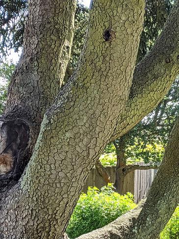 A PINSAPO, bark.jpg