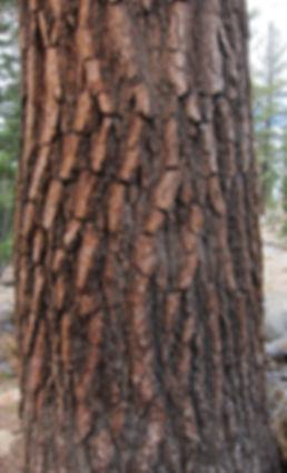 bark of western white pine in Yosemite National Park