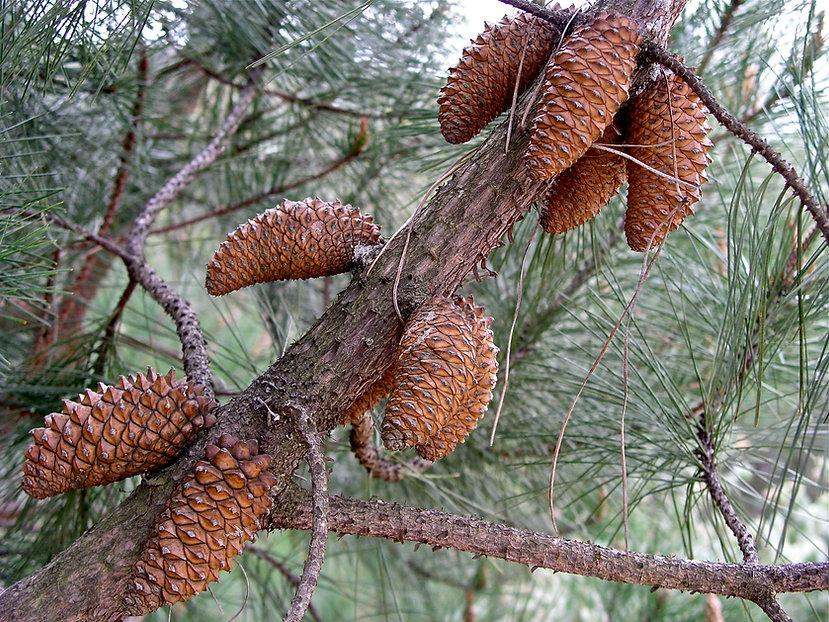 knobcone pine cones on branch, Pinus attenuata cones