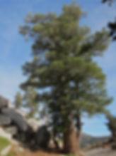 Western white pine, Pinus monticola, Phipps Pass in Desolation Wilderness