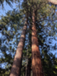 SUGAR PINE, INCENSE-CEDAR.jpg