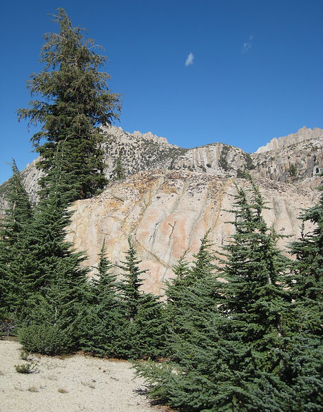 Mountain hemlock, Tsuga mertensiana, on granite in Northern Yosemite/Hoover Wilderness