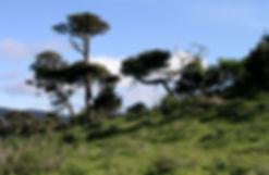Bishop pines, Inverness Ridge, Point Reyes National Seashore