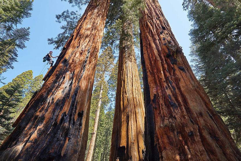 Giant sequoia, Sequoiadendron giganteum, Giant Forest
