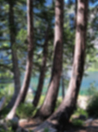 Alaska-cedar (Calatropsis nootkatensis) at Devil's Punchbowl, Siskiyou Wilderness, Six Rivers National Forest, California
