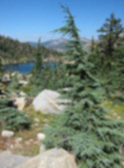 Mountain hemlock, Tsuga mertensiana, near Leland Lakes in Desolation Wilderness, California
