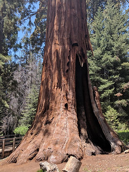 GIANT FOREST, GIANT SEQUOIA