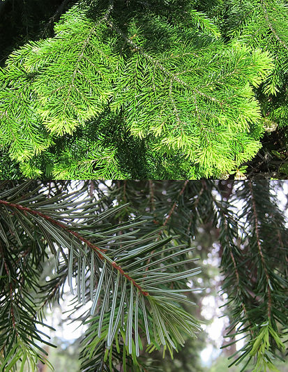 Pacific silver fir, Abies amabilis, underside of needles showing distinct white stomatal bands