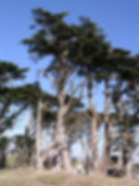 MONTEREY CYPRESS, HESPEROCYPARIS MACROCARPA