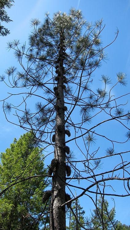 knobcone pine, Pinus attenuata