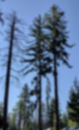Sugar pine, Pinus lambertiana, in Giant Forest, Sequoia National Park